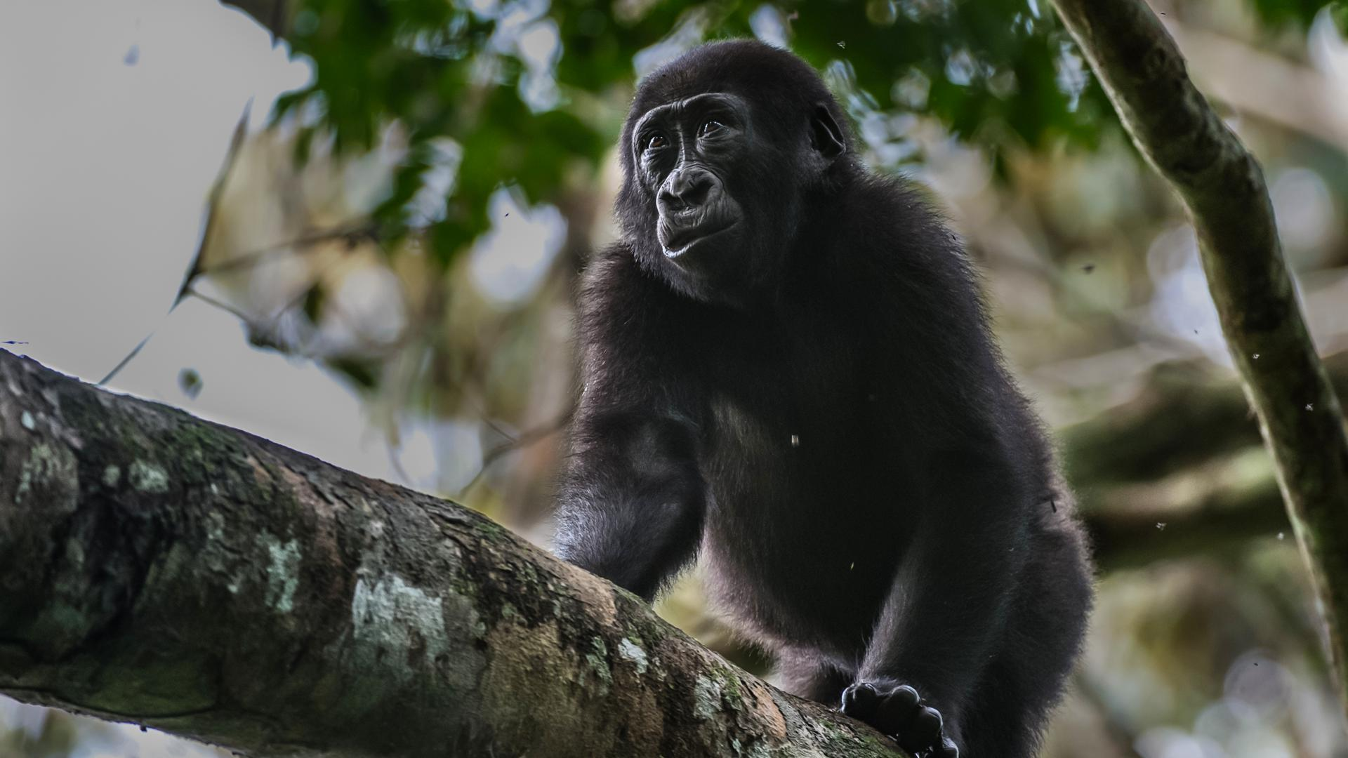 Gorilla habituation is an important aspect of developing the park.