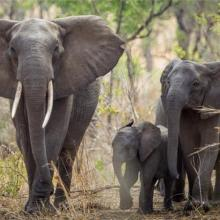 Malawi to relocate 500 elephants to new home