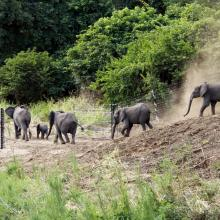 Translocated elephants make their way from the release boma into Nkhotakota © Will Whitford