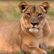 The Last Lioness - Wild Life Documentary