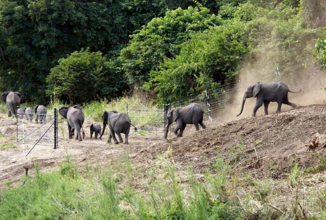 Elephants leaving the boma at Nkhotakota Wildlife Reserve after their journey from Liwonde National Park African Parks Will Whitford