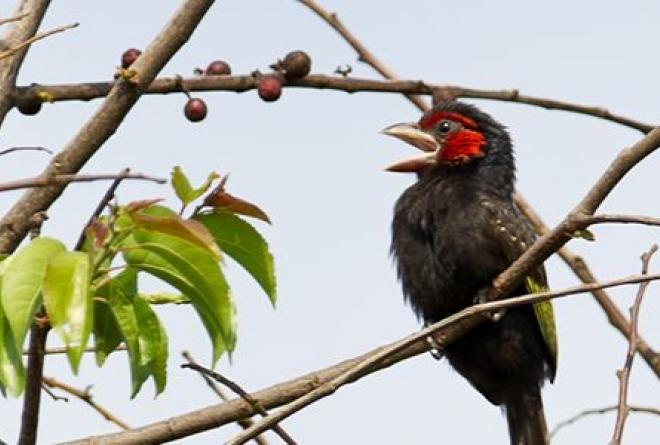 Akagera is an important habitat for the endemic red-faced barbet. © Morgan Trimble