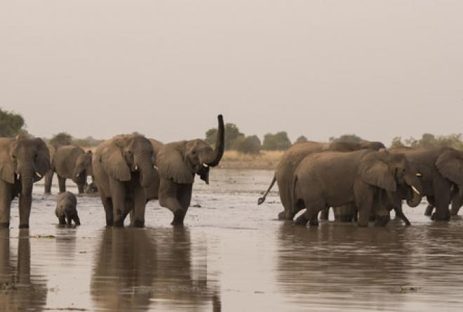 Elephants drinking at Zakouma National Park