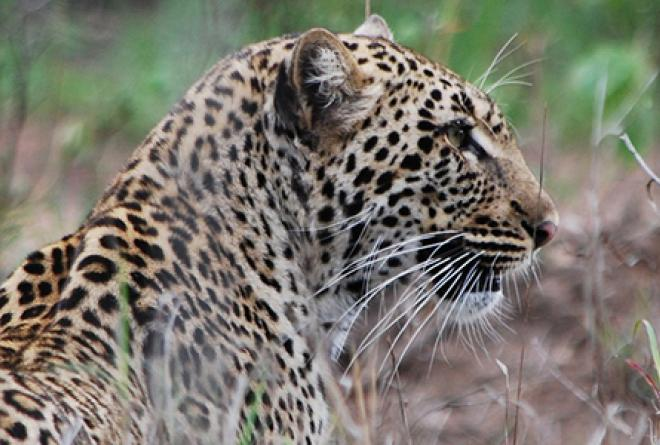 Some species are more vulnerable than others including predators like this leopard.