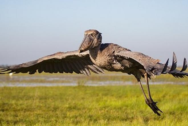 Its most famous resident is the elusive shoebill.