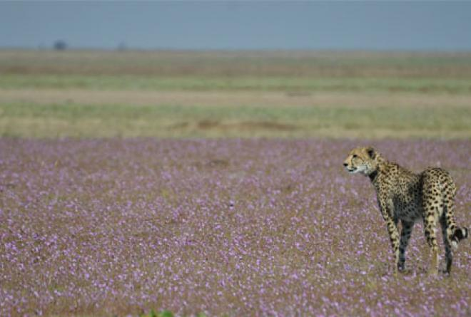 The flat landscape is the ideal terrain for cheetah