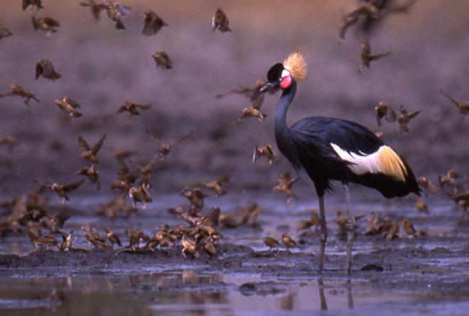 Black crowned crane is found in flocks of thousands.