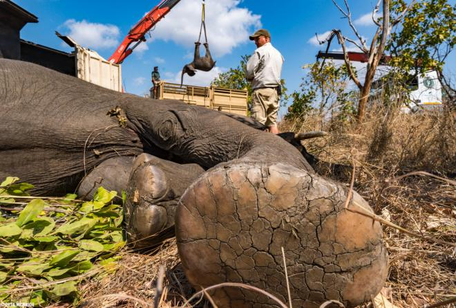 An anesthetized elephant waits to be lifted humanely by crane into a wake-up crate as part of 500 Elephants © Pete McBride