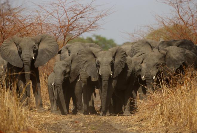 Elephants at Zakouma