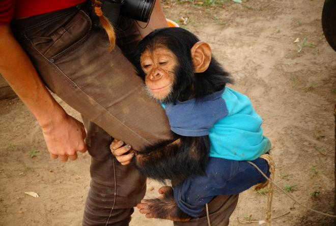 A rescued chimpanzee from Garamba National Park, DRC