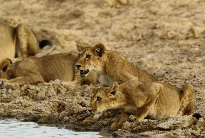 West African lions in Pendjari National Park