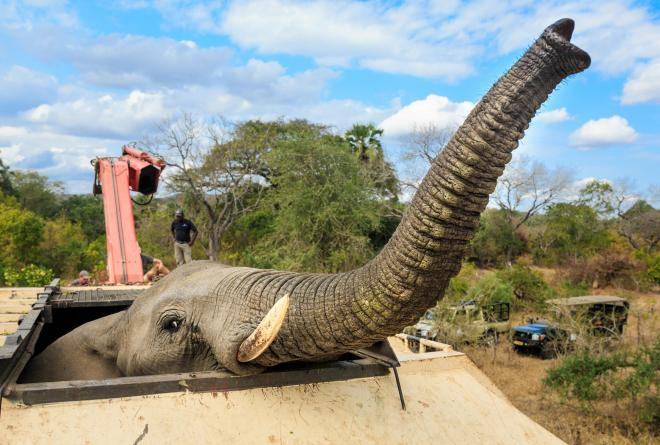 500 Elephants on the move in Malawi