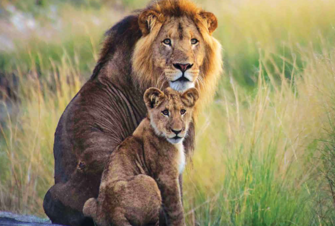 Liuwa male and cub Andrew MacDonald