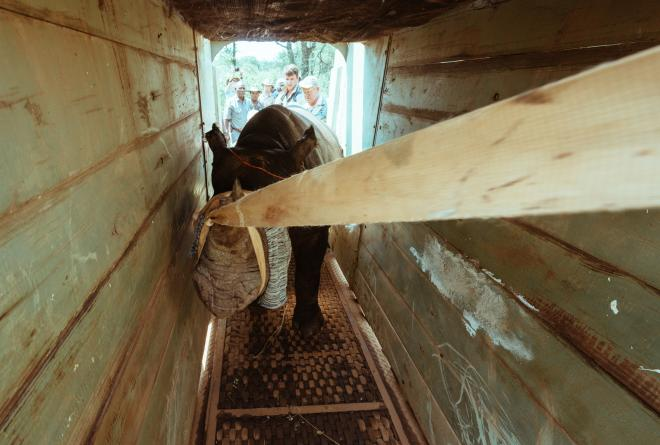 The team helps to guide a rhino into a crate for loading onto transport vehicles.