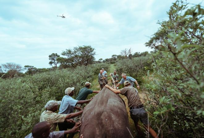 The capture team assists in navigating a tranquilised rhino towards the crate for transport.