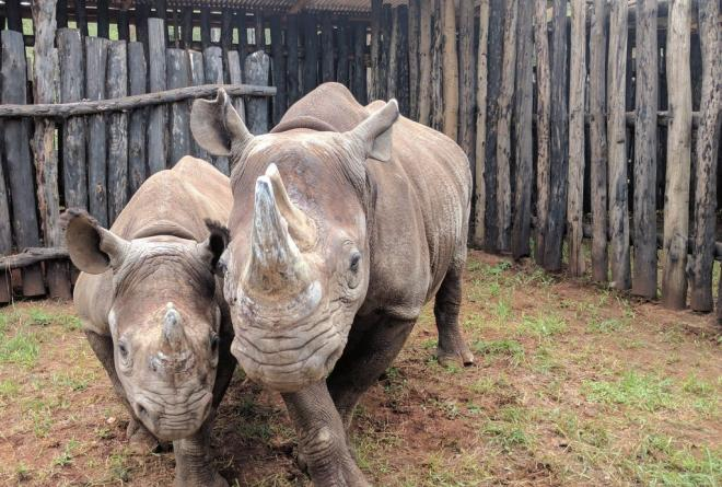 Mother and son black rhinos in the boma at Akagera