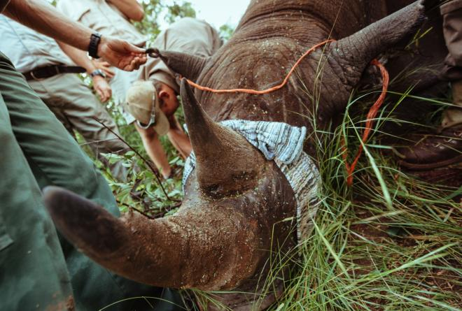 Material is bound over a rhino's eyes to protect it from stress as the team oversees its preparation to be moved in to a crate.