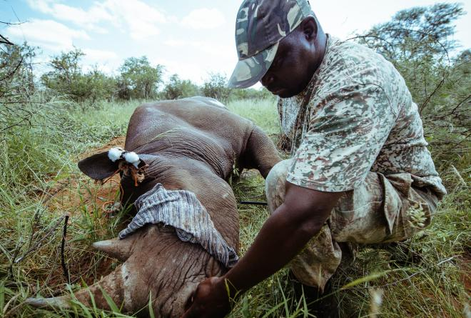 A member of the capture team monitors the breath of a tranquilised rhino.