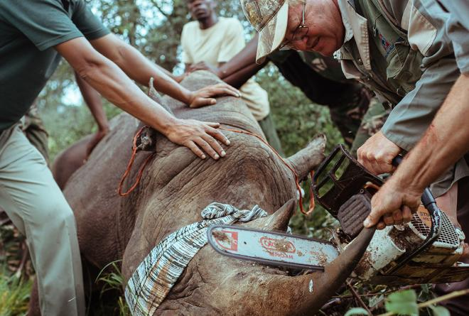 Vets shorten the horn of a darted rhino to prevent injury in the translocation process.