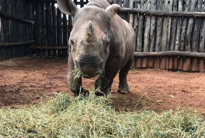 Rhino calf - 18 months old