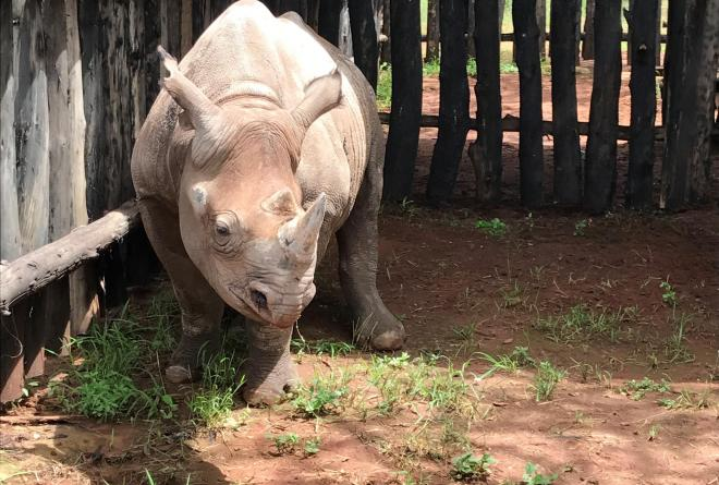 A two year old male Eastern black rhino
