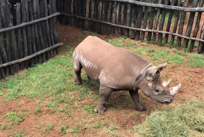 A newly translocated Eastern black rhino at Akagera National Park