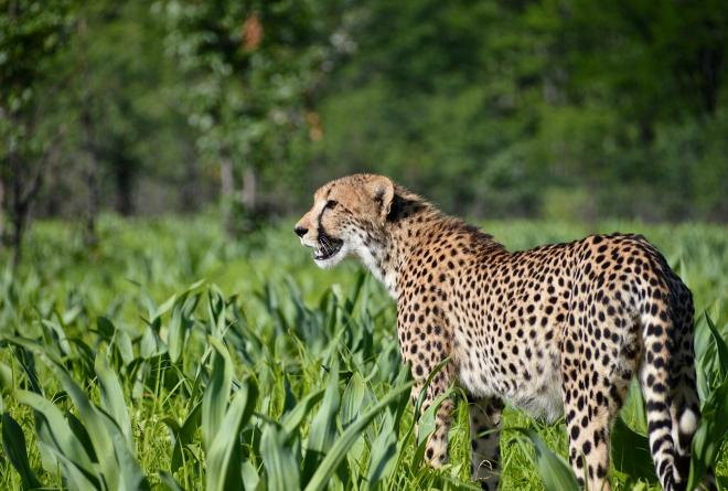 Cheetahs Introduced to Majete Wildlife Reserve After Decades