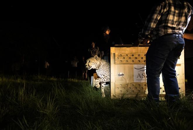 Cheeta Zambia